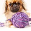 Pekingese dog a white background with space for text — Stockfoto