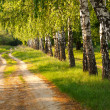 Spring birch alley — Stock Photo
