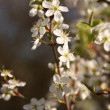 Apricot flowers. Spring scene. — Stock Photo #18045661