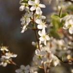 Kayısı çiçek. Bahar sahnesi — Stok fotoğraf