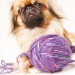 Foto Stock: Pekingese dog white background with space for text