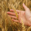 Wheat harvest — Stock Photo