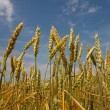 Spikelets of wheat — Stock Photo #18045825
