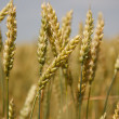Spikelets of wheat — Stock Photo #18046015