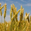 Spikelets of wheat — Stock Photo #18046049