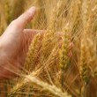 Wheat in hand — Stock Photo #18046261