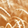 Ripe wheat — Photo