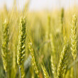Spikelets of wheat — Stock Photo #18046959