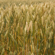 Spikelets of wheat — Stock Photo #18047011