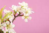Apricot flower on a pink background — Stock Photo