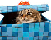 Cat in gift box — Stock Photo