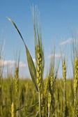 Harvest wheat — Stock Photo