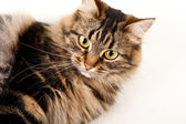 Cat white background — Stock Photo