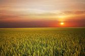 Wheat on sunset — Stock Photo
