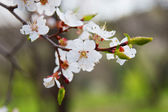 Branch of a blooming apricot tree — Stock Photo