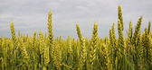 Panorama wheat on the field — Stock Photo