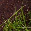Green grass in soil — Stock Photo #24425929