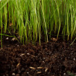 Stock Photo: Green grass in soil