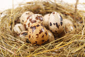 Quail eggs in a nest of hay — Stock Photo