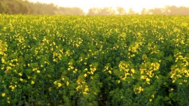 Canola blooming — Stock Video