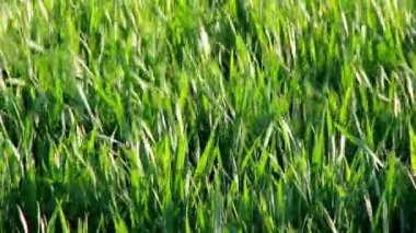 Grass shaking — Stockvideo