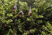 The fliying fox in the tree (bat) — Photo