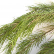 The branch of christmas tree — Stock Photo #33412961