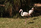 O flamengo-de-rosa no jardim zoológico — Foto Stock