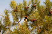 The branch of pine — Stock Photo