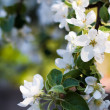 Blooming apple tree branch in spring — Stock Photo