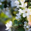 Blooming apple tree branch in spring - Stock Photo
