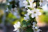 цветущие ветки яблоко весной — Стоковое фото