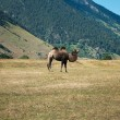 One camel near caucasus mountains at the end of summer — Stock Photo