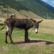 One donkey near caucasus mountains at the end of summer — Stock Photo