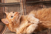 Red-haired playful cat lying on the sofa — Stock Photo
