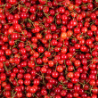 Fresh gathered cherries background — Stock Photo