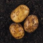 Fresh potatoes on the soil background — Stock Photo #42350667