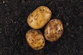 Fresh potatoes on the soil background — Stock Photo