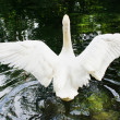 Stock Photo: White swan