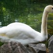 White swan — Stock Photo #33204473