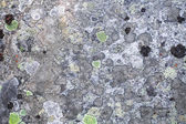 Background with the image of lichen — Fotografia Stock