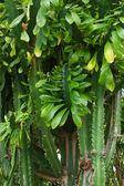 Cactus brushwood — Stock Photo