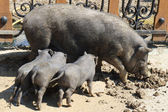 Sow with pigs — Stock Photo