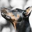 doberman pinscher portrait — Stock Photo