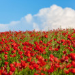 Field of red poppies — Stock Photo #35374409