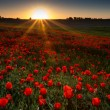 Field of red poppies — Stock Photo #35374431