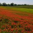 Field of red poppies — Stock Photo #35374449