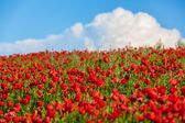 поле красных маков — Стоковое фото