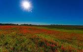 Field of red poppies — Stock fotografie