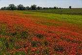 Campo de amapolas rojas — Foto de Stock
